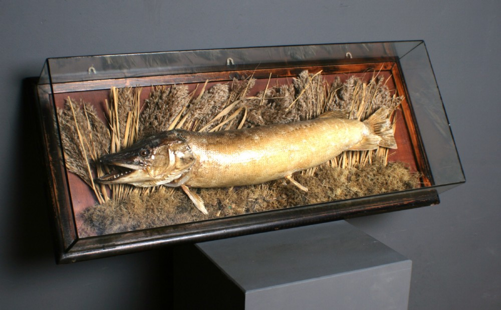 attractive large antique taxidermy mounted pike in glass case